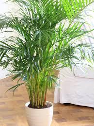 parlor palm parlor palm_mini best office plants no sunlight