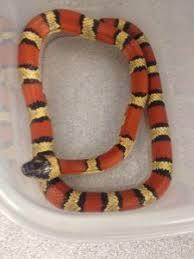 milk snake size the amazing milksnake painted reptile