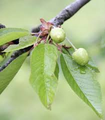 North Star Cherry Makes A Great Low Care Fruit Tree That Does Not Cherry Fruit Tree Care