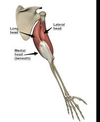 See more ideas about muscle names, workout, get in shape. The Overhead Triceps Extension 101 How To Strengthen Your Triceps
