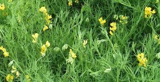 Растения луга Экология Реферат доклад сообщение кратко  Рис 175 Чина луговая lathyrus pratensis
