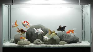 Fish Care Tips  A Layout for Fancy Goldfish - ADGVibe featured on the cover