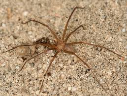 The Persistent Myth Of The California Brown Recluse Kcet