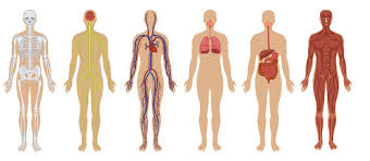 Organs In The Human Body The Human Body Anatomy Facts Functions Live Science