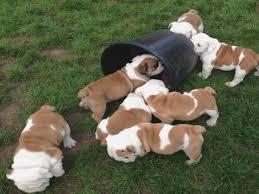 bulldog for pet inc english bulldog puppies for in phoenix az
