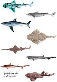 Tipus De Taurons Animals Shark Art