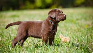 chocolate lab puppies. Plain Puppies Buying  Inside Chocolate Lab Puppies X