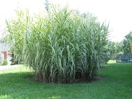 Tall Decorative Grass Tall Grass Landscaping Photos Decorative Tall Grass Landscaping