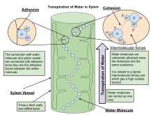 Evaporation Potential Chart Transpiration Wikipedia