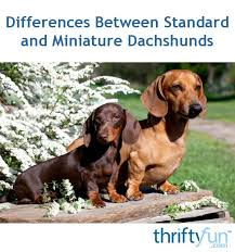 Dachshund Size Chart Differences Between Standard And Miniature Dachshunds
