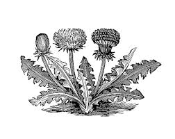 Antique Images Free Vintage Botanical Graphic Black And White