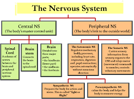 Cns And Pns Chart Pin By Learncbse On Icse Solutions Peripheral Nervous