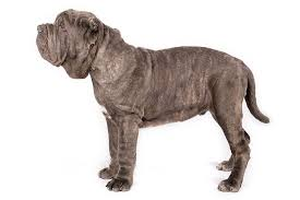 Neapolitan Mastiff Size Chart Neapolitan Mastiff Dog Breed Information