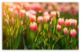 springtime tulips flowers ultra hd
