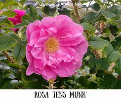 rosa jens munk