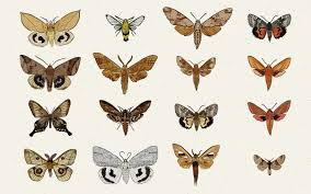 What Did Moths Do Before Lights Moth Magic Natures Underappreciated Night Dweller