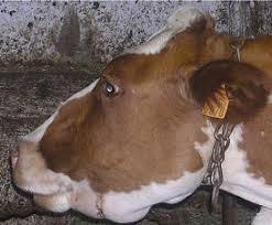 Bluetounge Virus Nadis National Animal Disease Information Service