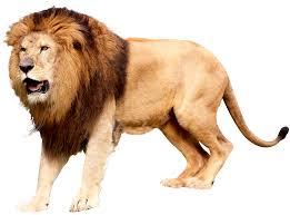 free lion png hd