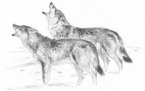Ilustracion de lobos, ecoturismo del lobo, José Ignacio Vega.jpg