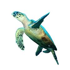 hawksbill sea turtle isolated on white background wall decal