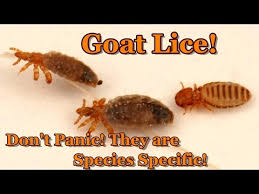 Goat Lice Goat Lice Diatomaceous Earth Youtube