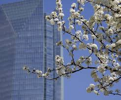 a blooming bradford pear tree with devon tower in the background is viewed from sw 3