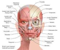 face anatomy facial anatomy aesthetic care