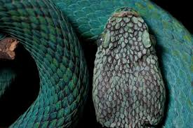 Vipers are considered to be one of the most advanced groups of snakes, meaning that they display a large degree of divergence from the ancestral snakes. Blue Vipers Endangered Frogs And Threatened Birds Protected By New Guatemalan Reserve Global Wildlife Conservation
