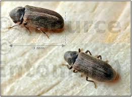Bonjour à tous, j' espère que vous pouvez m'aider à identifier ces insectes. Les Insectes Xylophages Les Guides De La Construction Bois