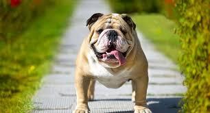 best toys for bulldogs