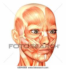 face anatomy stock illustration of female face anatomy k8944908 search eps clip