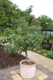 looking after patio trees