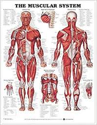 The Muscular System Anatomical Chart Not Available