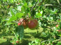 FRUIT TREES  Small Orchard  Pear Apple Cherry Plum Peach And Different Fruit Trees