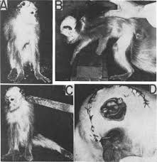 Image result for image of monkey with top of skull removed and electrodes attached