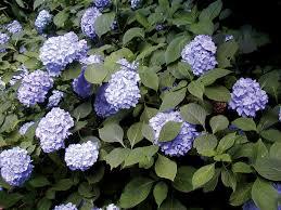 Shade Loving Shrubs  LoveToKnowClimbing Plants That Like Shade