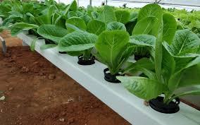 Growing Romaine Lettuce Or Cos Lettuce In Hydroponics