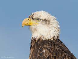 Bald Eagle Age Chart A Guide To Aging Bald Eagles And How To Distinguish Immature