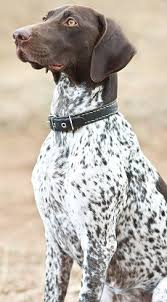 German Shorthaired Pointers: What