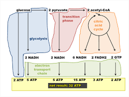 Biochemistry 08 The Citric Acid Cycle And The Electron