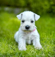 this cute white schnauzer puppy will melt any heart