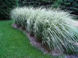 Tall Decorative Grass Lovegrass Farm Miscanthus Sinensis Variegatus Ornamental Grass