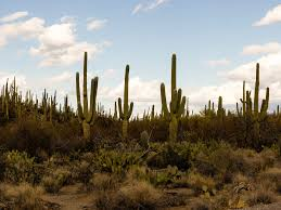 No, it's not the only elevation level. Saguaro Cactuses Are Under Threat Because Of Climate Change Washington Post