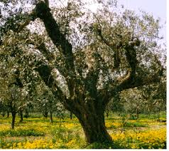 Origins Of Domesticated Olive Tree RevealedWild Olive Tree Fruit