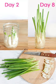 regrow green onions scallions from