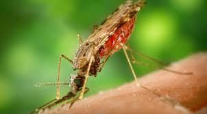 """Résultat de recherche d'images pour """"moustique sang"""""""