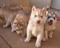 dark red husky puppy. Interesting Puppy A Litter Of Siberian Husky Puppies Are Standing And Sitting On A Concrete  Surface Two In Dark Red Puppy H