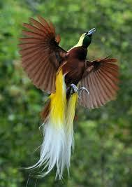 Warna yang menghiasi bulu burung cendrawasih merupakan perpaduan dari beberapa warna seperti cokelat, orange, hitam, kuning, biru, putih hijau, ungu dan merah. 180 Ide Cendrawasih Papua Burung Burung Cantik Lukisan