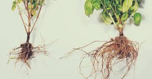 mycorrhizae nz the ultimate crop