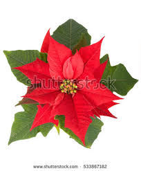 live christmas flower red Poinsettia in the pot isolated on white backround